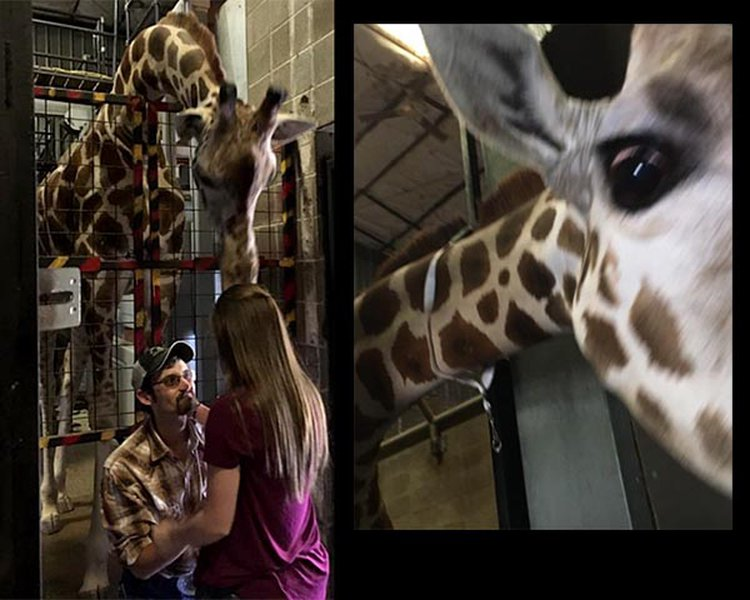 Mili The Giraffe Helps Missouri Man With Surprise Marriage Proposal at Dickerson Park Zoo